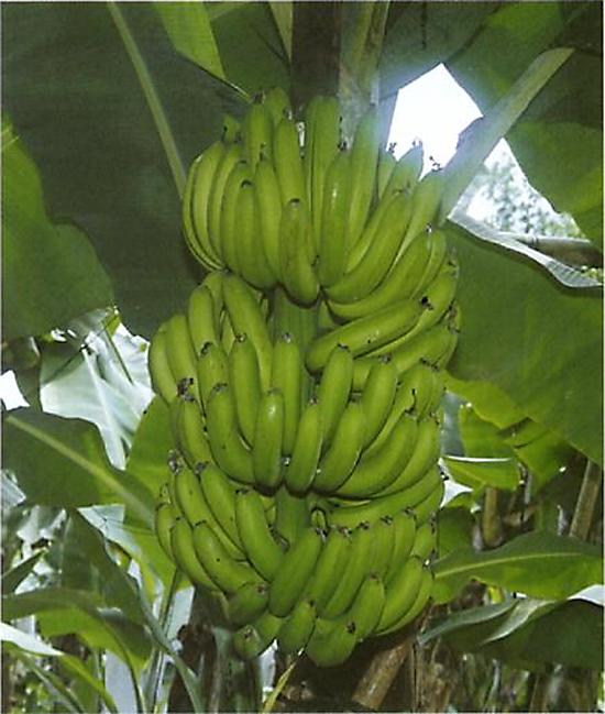 수확 전 바나나