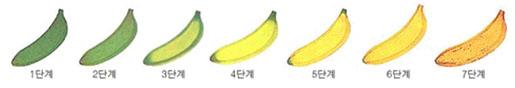 바나나 성숙과정